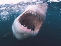 ホオジロザメがオットセイを捕食する瞬間映像