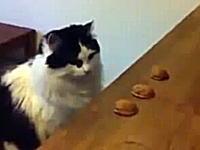 迷うネコ。中身当てゲームで真剣に悩んでいる様に見える猫ちゃんがカワイイ