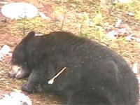 人間に狩られる巨大な熊たち。ライフルやアーチェリーでツキノワグマを狩る