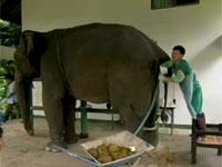 ゾウから精子を採取する映像。これは・・・。