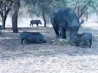サイ凶。動物映像。サイの餌を狙ったイノシシが尖ったツノで突き上げられる