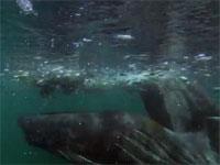 ザトウクジラがニシンの群れを一口で丸飲みにしてしまう瞬間