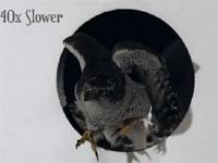 ギリギリサイズの穴を勢い良く通り抜ける鷹のスローモーション映像。