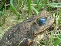 目玉の中に寄生虫が住み着いてしまったカエル