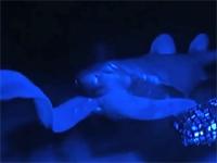 ヌタウナギのスライム攻撃を受けたじろぐサメの映像