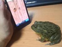 スマホのゲームをプレイするカエルちゃん
