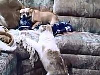 猫の躍動感w自宅で一緒に飼われているネコにビビりまくるフレンチブル