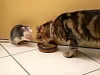 なにこれ可愛い。ニャンコのミルクを奪うネズミwお前ら仲良しかよw