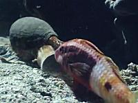 静かに忍び寄り魚を丸飲みするイモガイの捕食動画。口でかすぎ怖い
