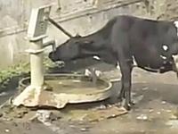 インドのウシは賢いw自分で井戸のハンドルポンプを操作して水を飲む。