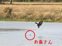 魚を狙うワシが脚で掴むのを諦めて・・・。そんな方法があったのかよw