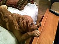 犬の映画を真剣に見ているワンコが可愛い。なんでそんな恰好なのw
