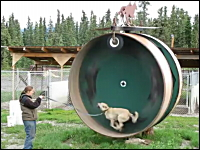 ワンコ超楽しそう(・∀・)犬用大型回し車でワンコがダッシュしている映像。