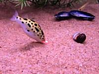 ギヨギヨ動画。レーザーポインターを必死で追う水槽の中の魚たちが可愛い
