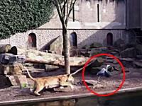 動物園で檻の中のライオンが侵入者を狩る瞬間が撮影される。ターゲットは鳥