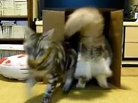 猫が箱に入っていると追い込みをかける猫