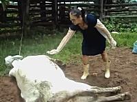 生まれたよ。良く頑張ったね。触んな(怒)牝牛のハイキックが顔面に炸裂w