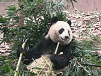 食事中にちょくちょく「ザ・ワールド時を止める」を使われるパンダw