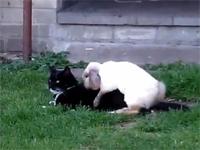 発情期のウサギが猫をレ●プしているドン引き映像