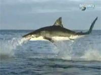 ホオジロザメの狩りを撮影した映像。空中へ物凄い勢いで飛び出し・・・。