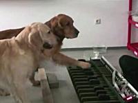 このワンコ可愛すぎワロタwお姉さんと一緒にピアノを演奏するイヌ2匹。