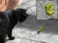 荒ぶるカマキリのポーズ!威嚇してるぞ!怖いだろ!ネコ「ニャンだこれ!」