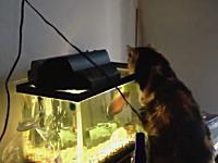 水槽の中の熱帯魚に攻撃されて焦るニャンコwオスカー強かったw
