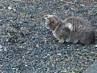 ネコの狩猟本能。ペットで飼っていたニャンコがモグラを狩る瞬間のビデオ。