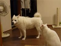 まるでコントw 猫が犬を服従させた瞬間w