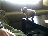 子猫ちゃんの大冒険。生後7週間。初めての大ジャンプに挑戦するが・・・。