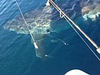 釣り人を狙う?ホホジロザメ。ボートとほぼ同じサイズの巨大なヤツと遭遇。