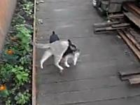 この犬ワロタ。拉致被害者は猫!?ニャンコを背中に乗せて運ぶイヌの映像