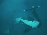 シャチに足を噛まれた調教師がプール深くに引きずり込まれる事故の映像。
