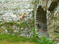 忍者犬!?この犬すごい。パルクールを教え込まれたワンコの凄ワザ映像