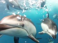 偶然撮れたイルカの水中映像が素晴らしい。ボートとカメラを追うイルカの群れ