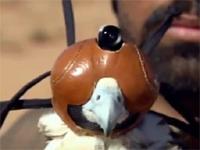 地球最速と言われているハヤブサの狩りをハヤブサ視点で撮影した映像。