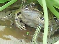 究極にマゾい毛虫。カエルの前でブンブンして私を食べて食べておいしいよ。