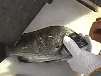 必殺仕事人のごとくピアノ線を使う魚の神経締め(神経抜き)の実践ビデオ。