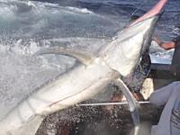 巨大カジキに挑んだ男たちの映像がマジ凄い。釣る方も釣られる方も必死。