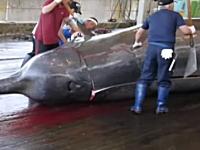 鯨の解体方法。体が大きいから大人数人がかりで作業も大変。和田漁港
