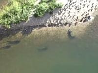 水辺にやってきたハトを狩るナマズ。水中に潜んで狙い澄まし引きずり込む。