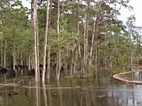 ルイジアナ州の沼地で生えていた木々が水の中に吸い込まれていく驚きの映像