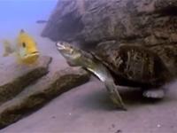 卵を狙う亀と、その卵を産んだ魚との壮絶すぎる攻防!
