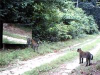 林道に鏡を設置して、いつもそこを通る豹たちの反応を撮影してみた