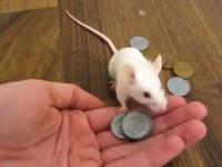ネズミも仕込めばなんでもできるようになる!?芸をするネズミたちのビデオ