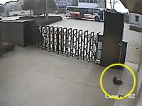 ワンコを盗む為に麻酔銃を打ち込む中国の犬窃盗団の映像。監視カメラ。