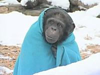 気温が低い時はブランケットを羽織れば良いと学んだチンパンジーが完全に猿の惑星