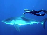凶悪な顔をした野生のホホジロザメにそっと近づき一緒に泳いでしまう女性。
