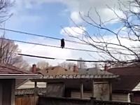 これは萌えた。カナダで撮影された電線を渡るラスカルが可愛いと話題に。
