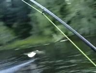 フライ釣りをしていたらハクトウワシが釣り上げた魚をラインごと持ってった!